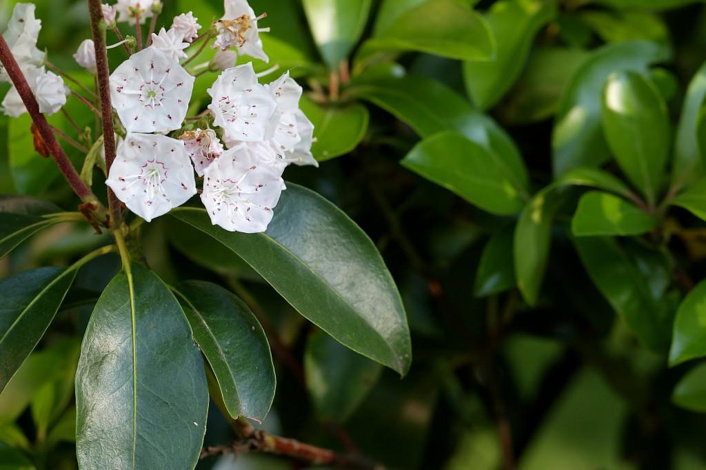 Kalmia latifolia 870