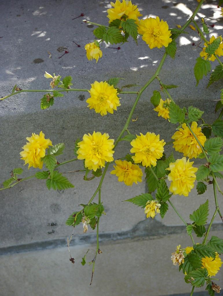 Kerria japonica 870