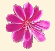 Lewisia cotyledon blomma 570.1
