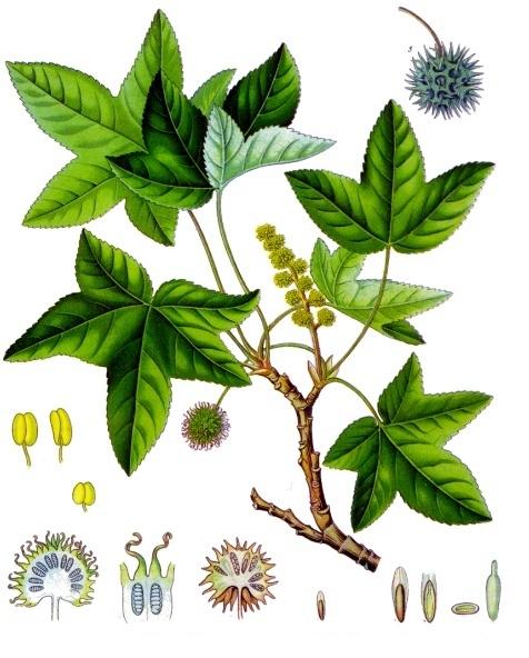 Liquidambar orientalis (teckn.) 870