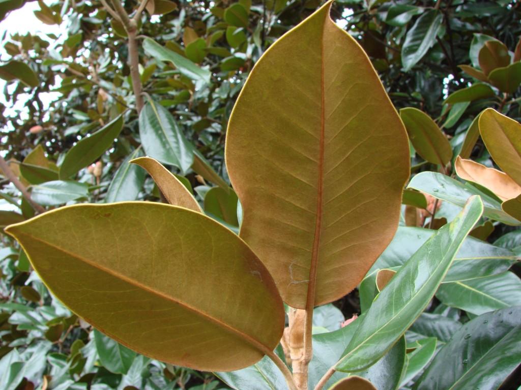 Magnolia grandiflora 870