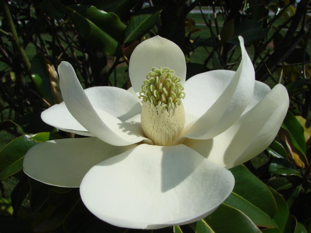 Magnolia grandiflora 871