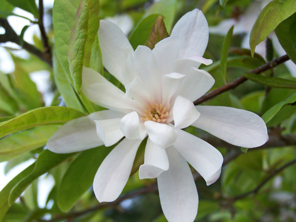 Magnolia stellata 872