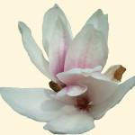 Magnoliablomma 570.1.3