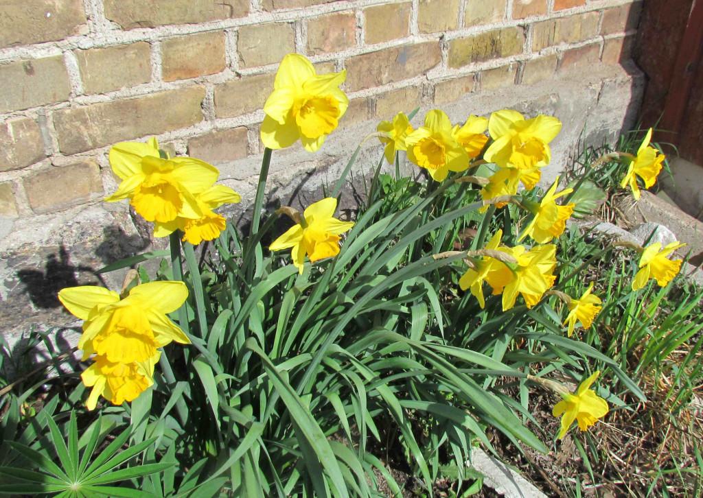 Narcissus 570.2