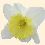 Narcissus 872.2