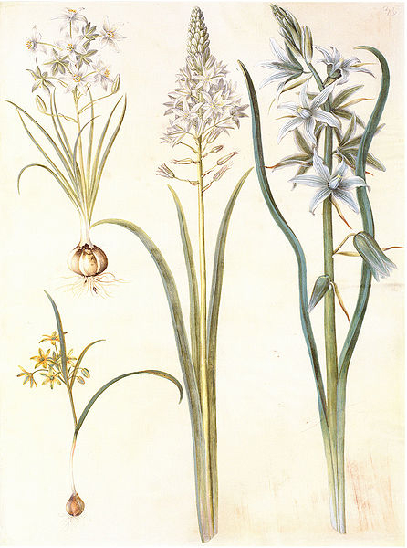 Ornithogalum umbellatum & O. nutans 870