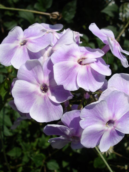 Phlox paniculata 'Violettta Gloriosa' 870  m.l. (Epibase)