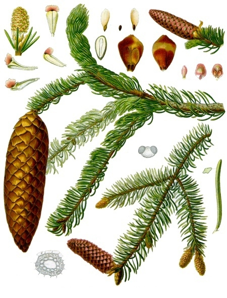 Picea abies (teckn.) 870