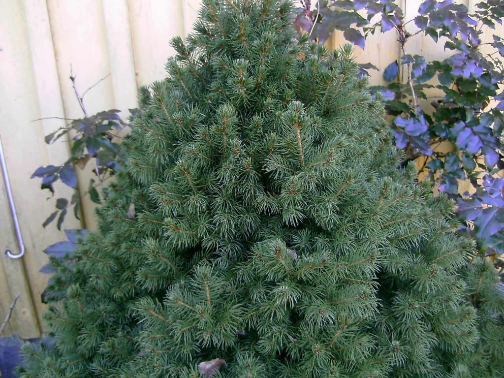 Picea glauca 'Conica'  570.1