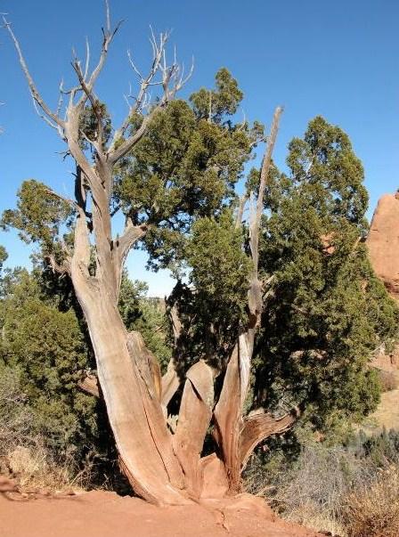 Pinus longaeva (kanske)