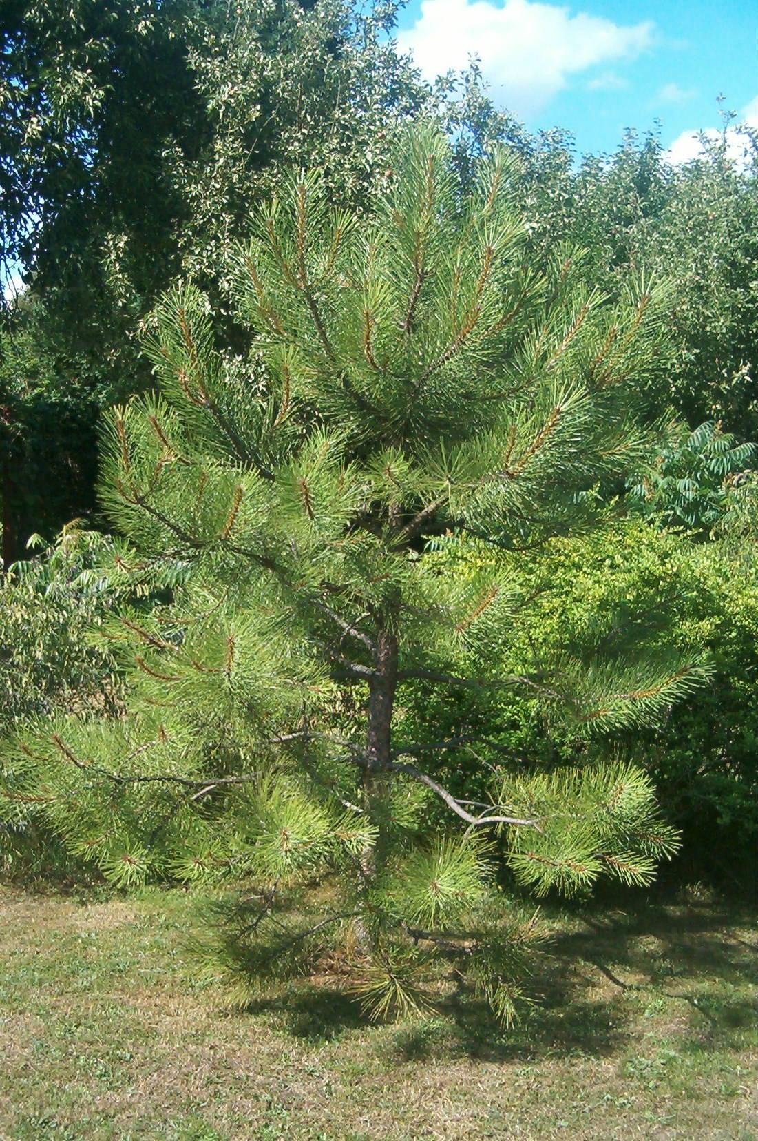 Pinus ponderosa 570.2