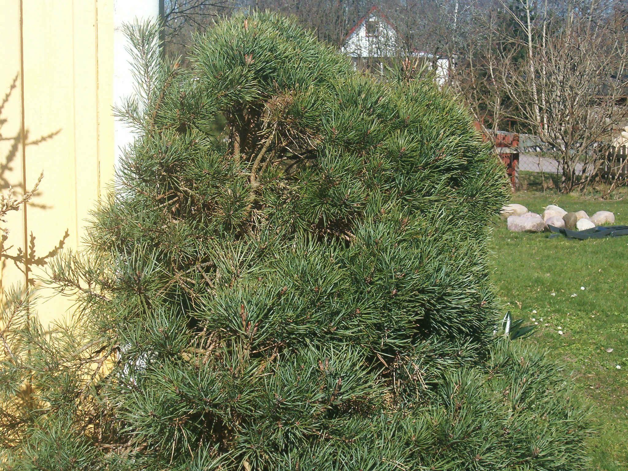Pinus sylvestris 570.1