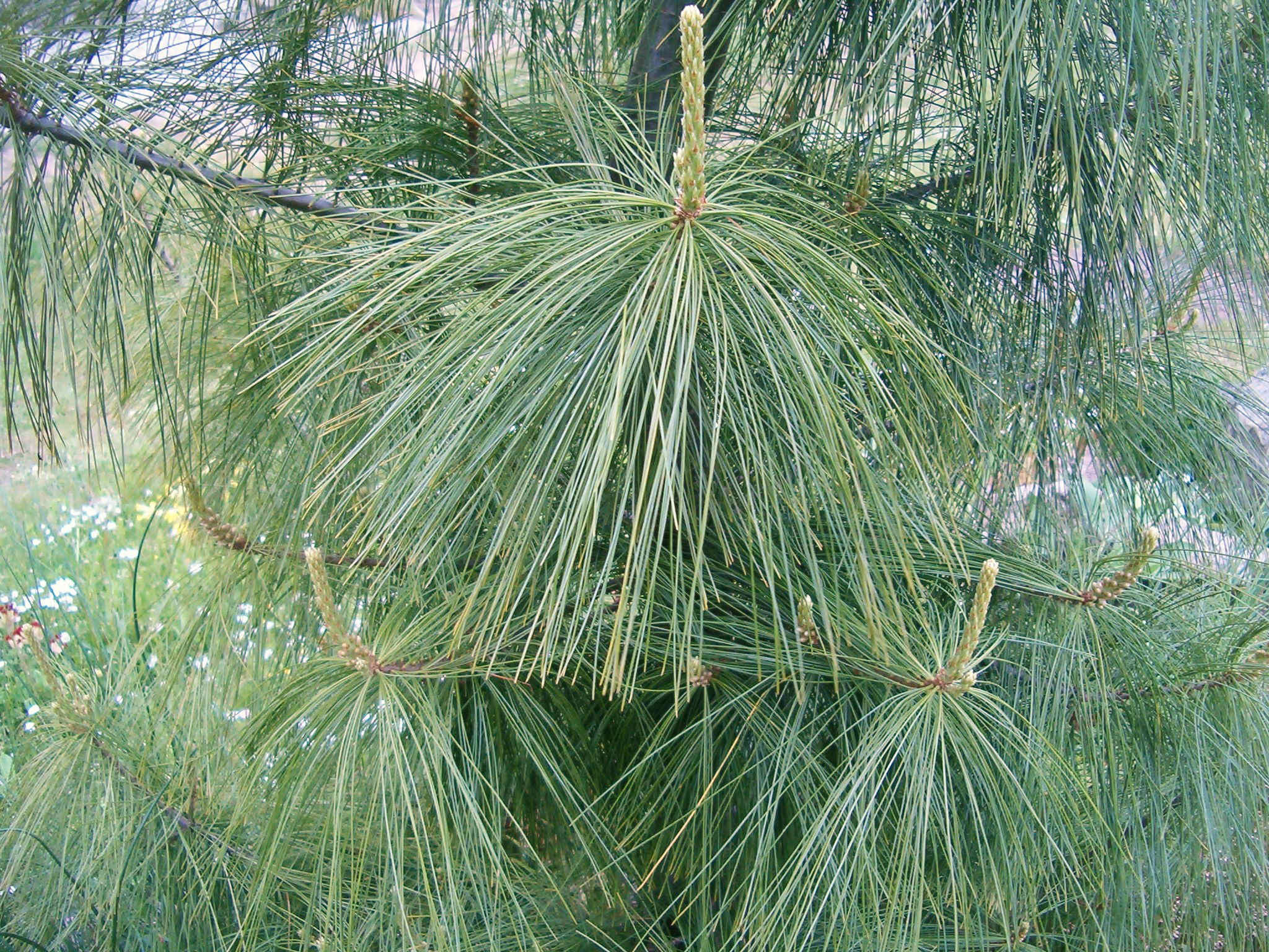 Pinus wallichiana 570.2