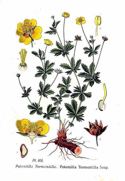 Potentilla erecta (P.tormentilla) (teckn.) 870