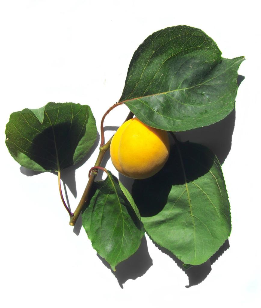 Prunus armeniaca 870 (Dreamstime)