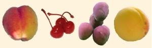 Prunus-frukter