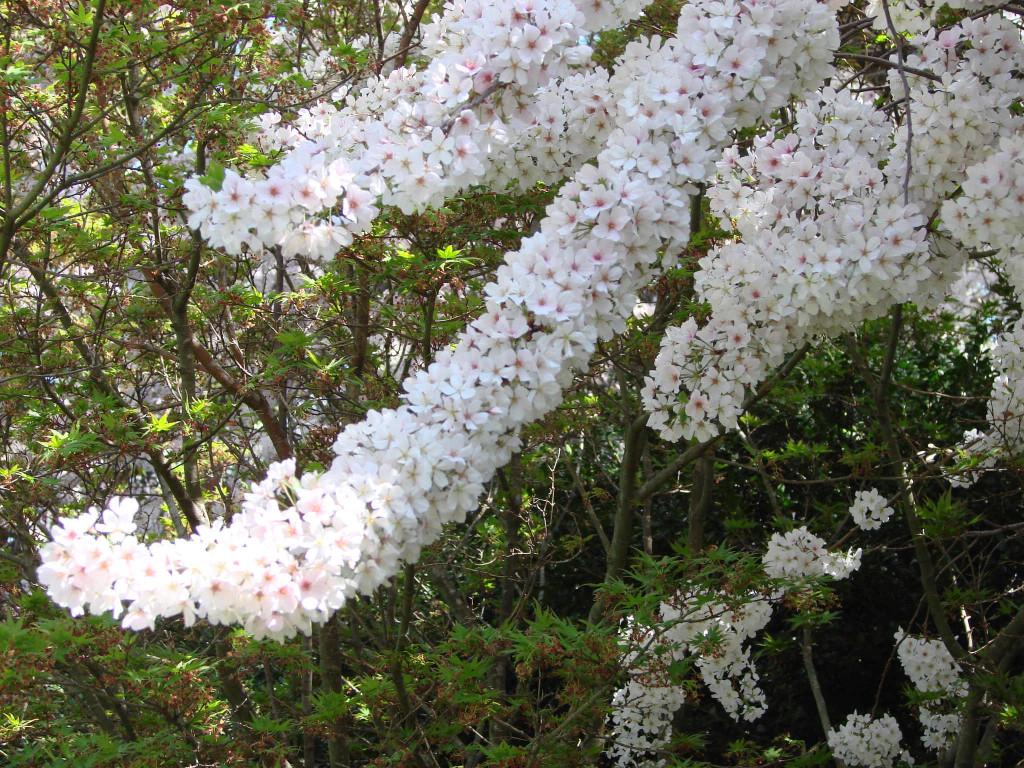 Prunus (körsbär) 870