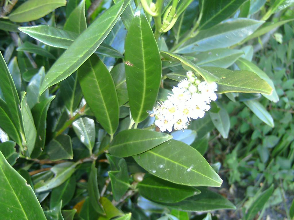 Prunus laurocerasus `Otto Luyken´ 570.2