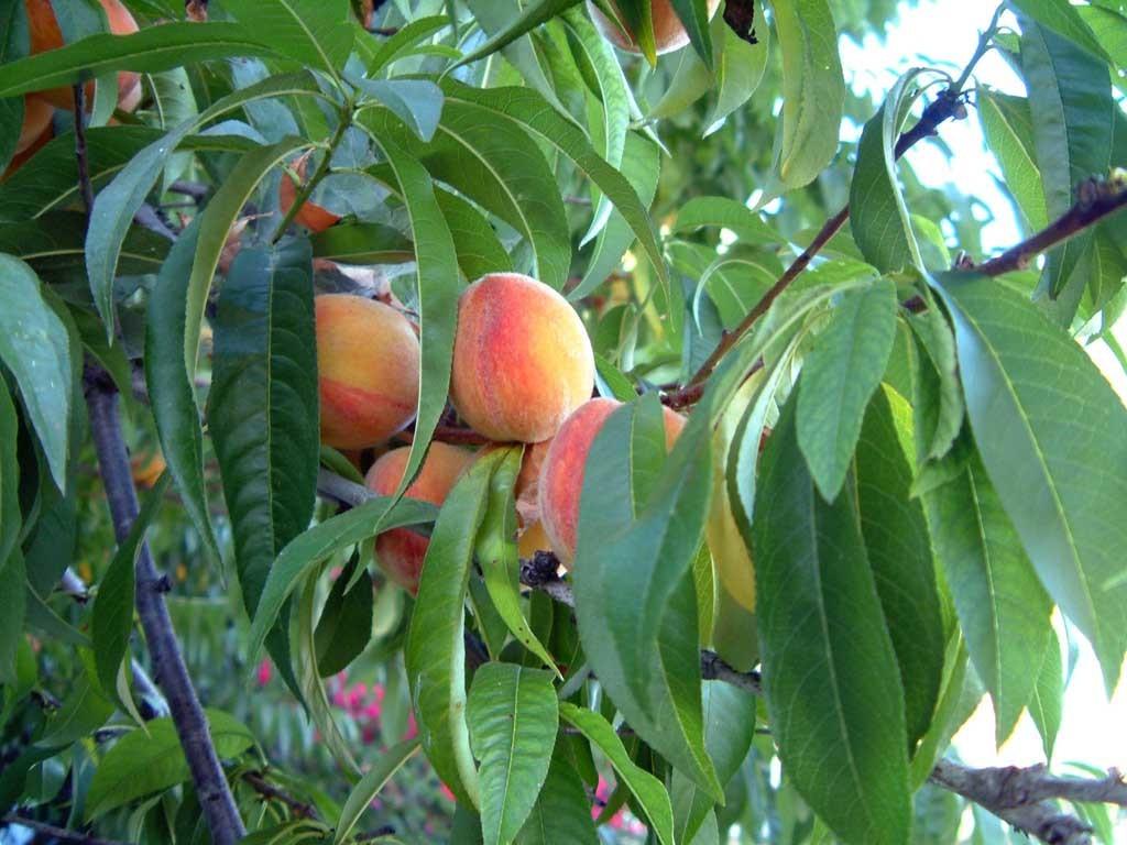Prunus persica 870