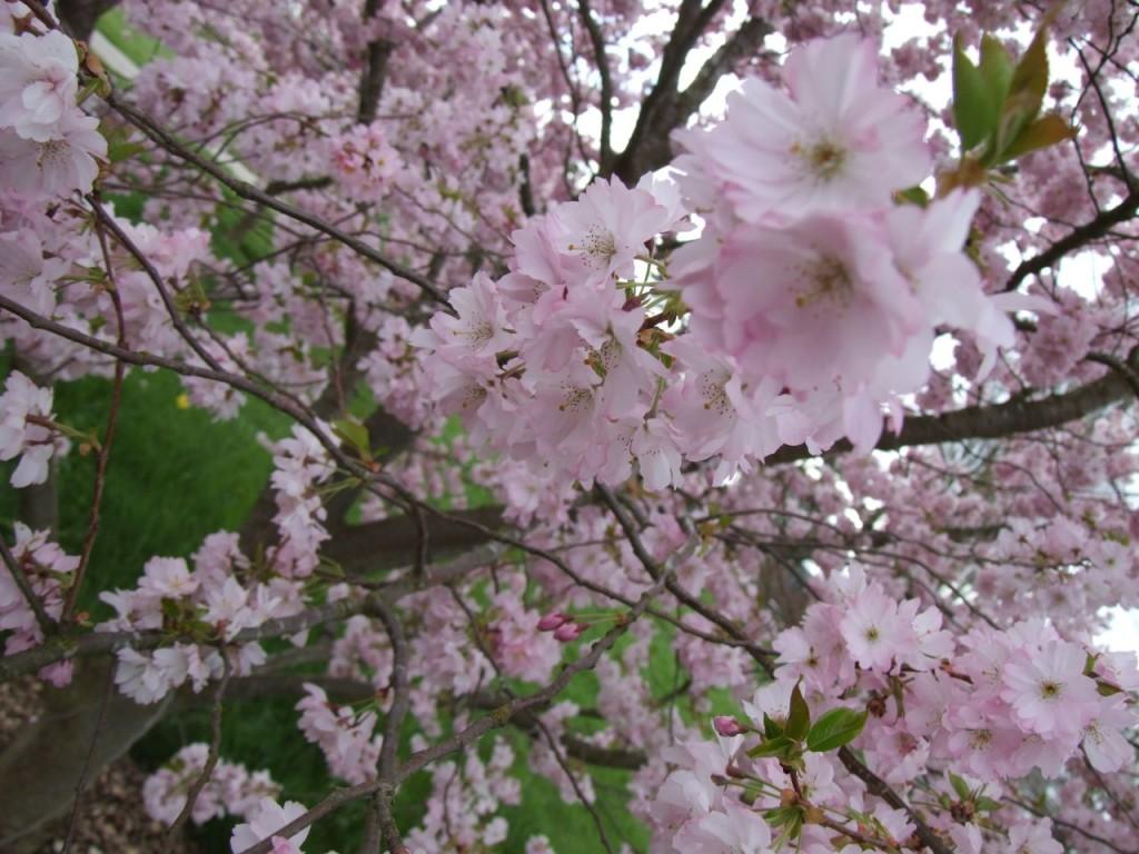 Prunus serrulata 870
