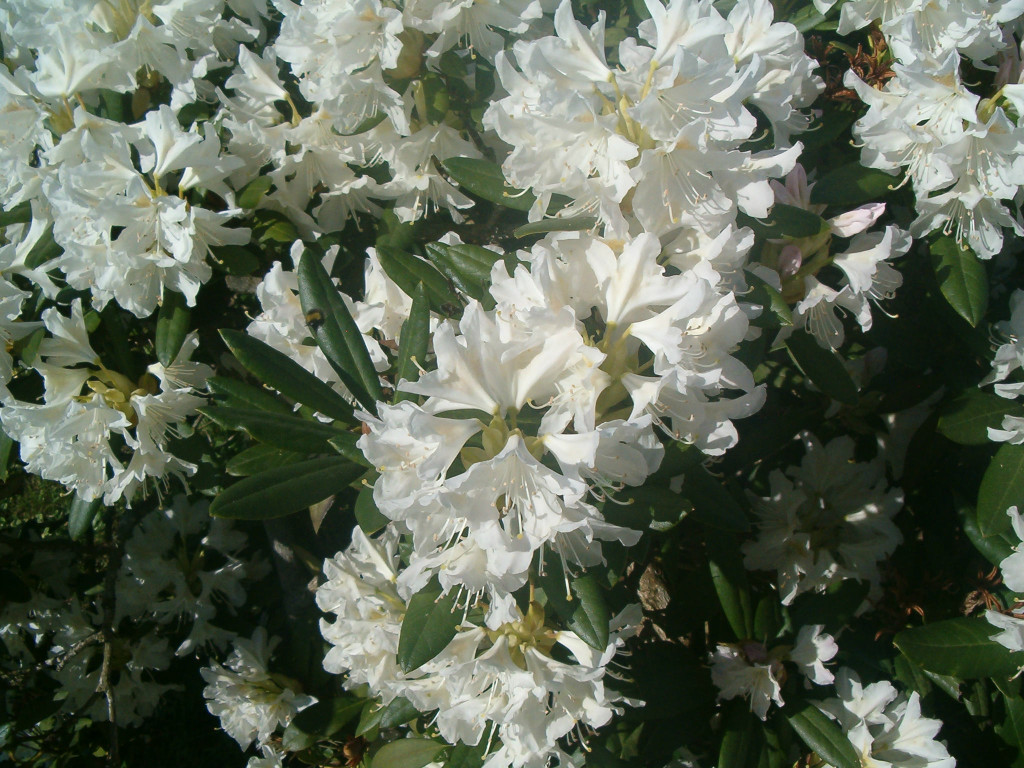 Rhododendron `Cunninghams White´ 570.1