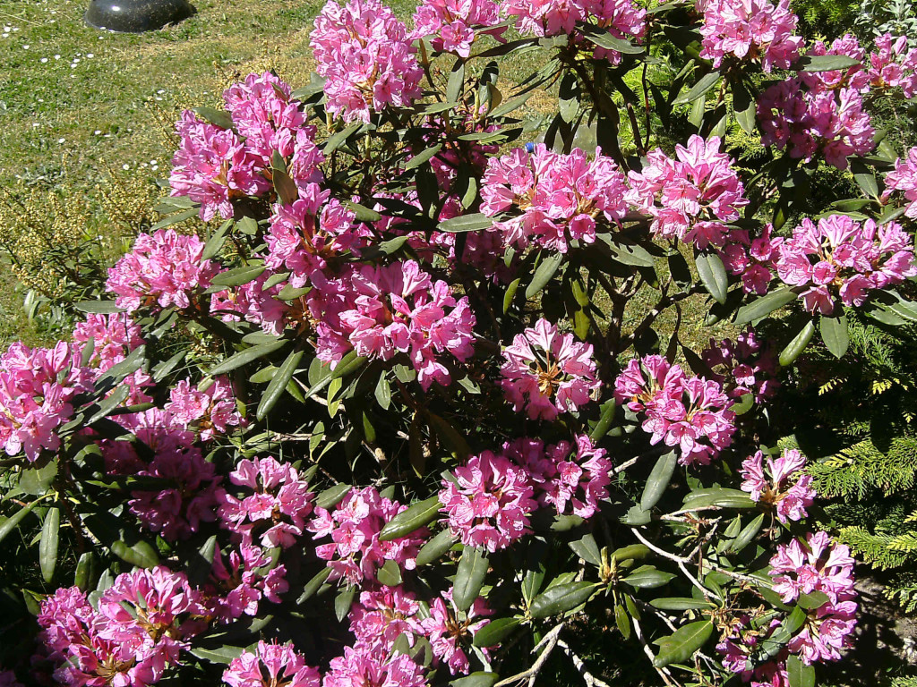 Rhododendron smirnowii  570.1