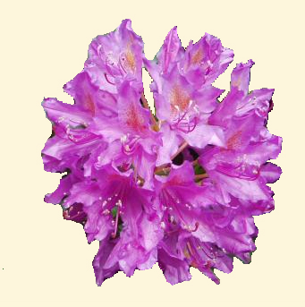 Rhododendron sp. 870.2