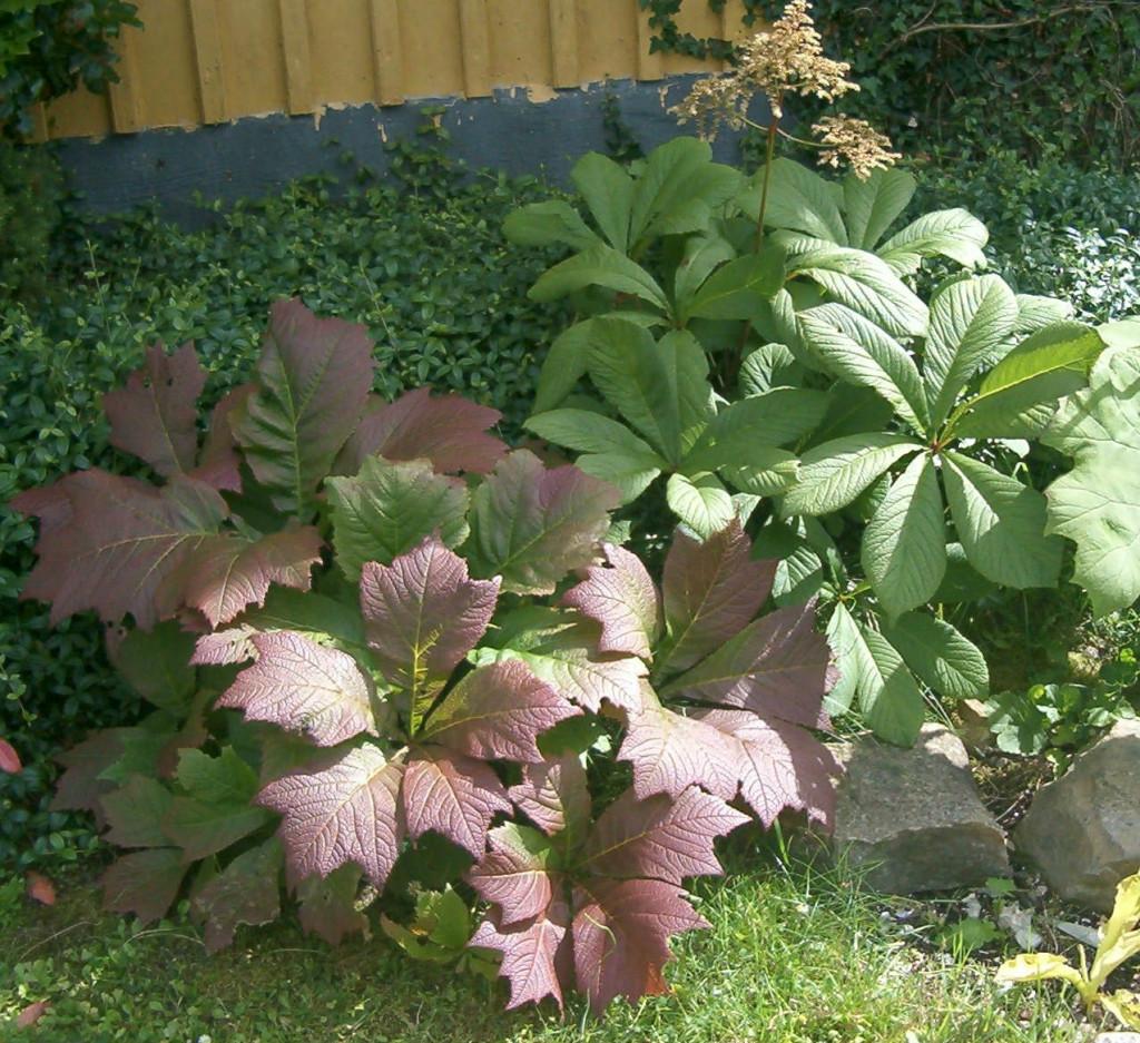 Rodgersia podophylla & R. aesculifolia 570.1