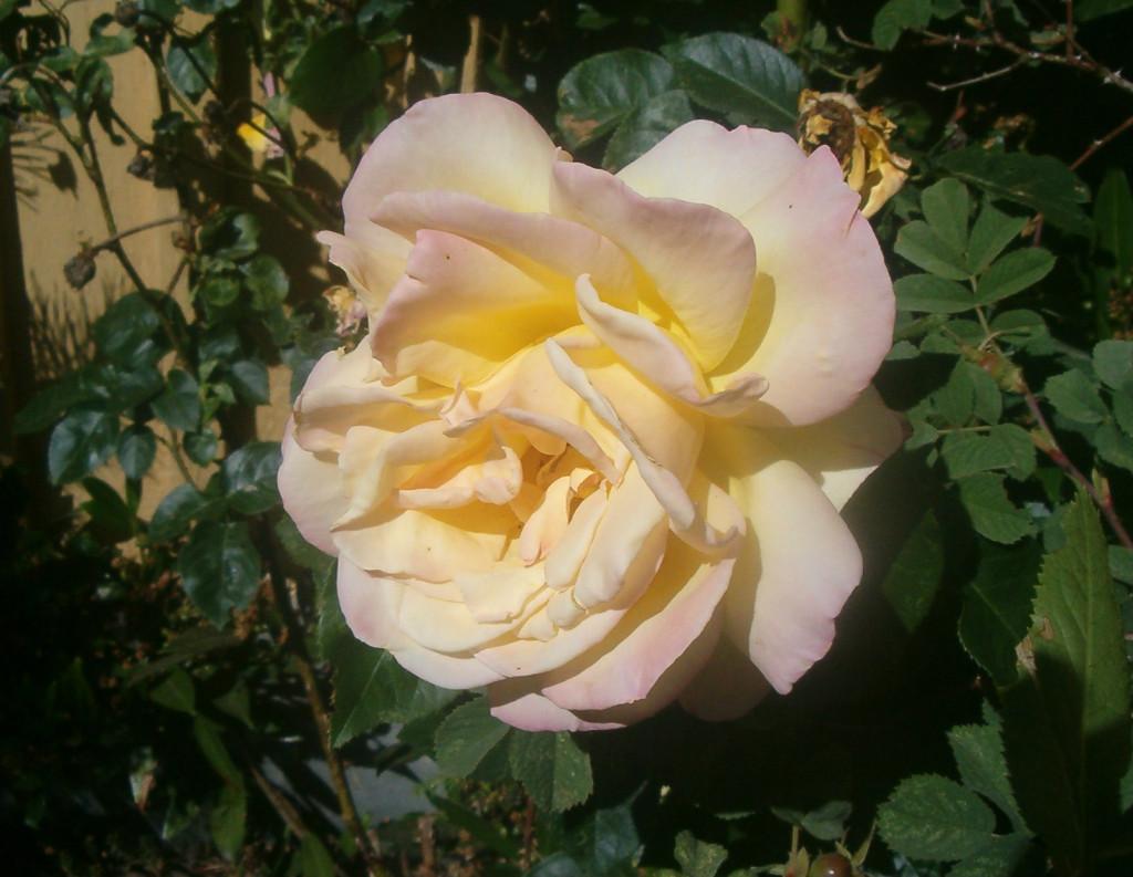 Rosa 570.1