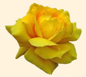 Rosa 872.2