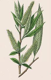 Salix alba 870
