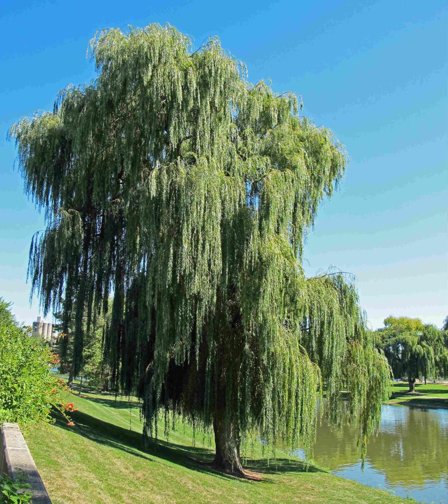 Salix alba 871.2