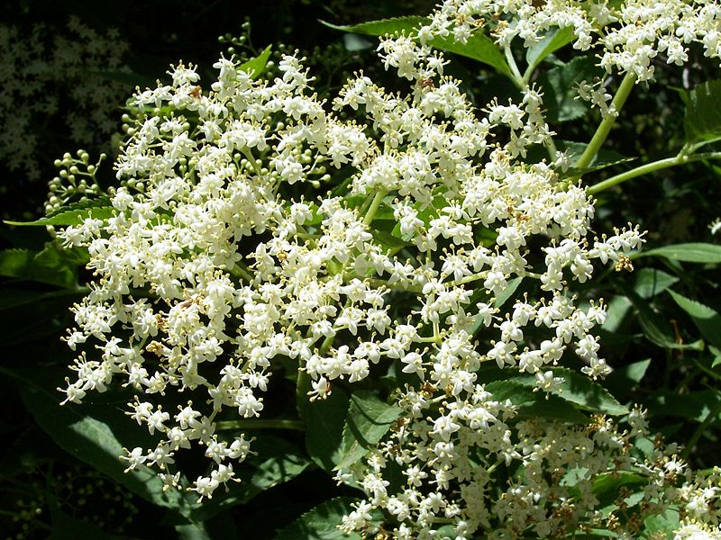 Sambucus nigra 870 m.l. (Willow)
