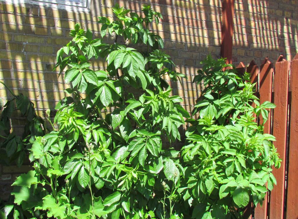 Sambucus racemosa 570.1