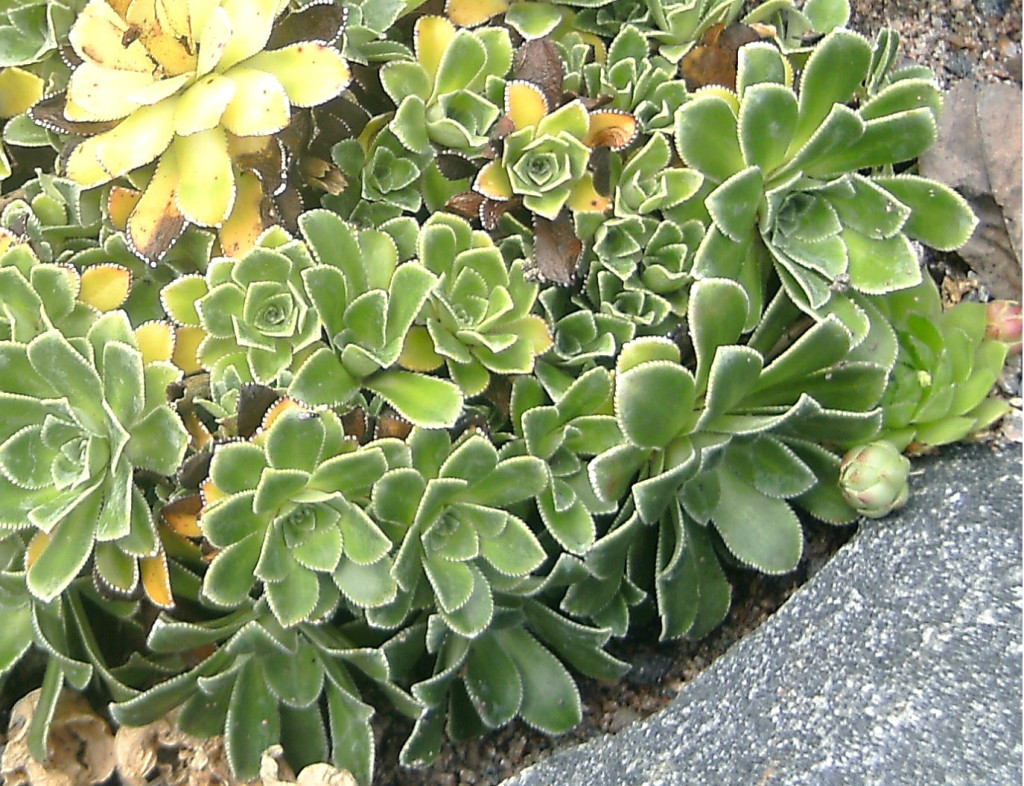 Saxifraga cotyledon 'Southside Seedling' 570.1