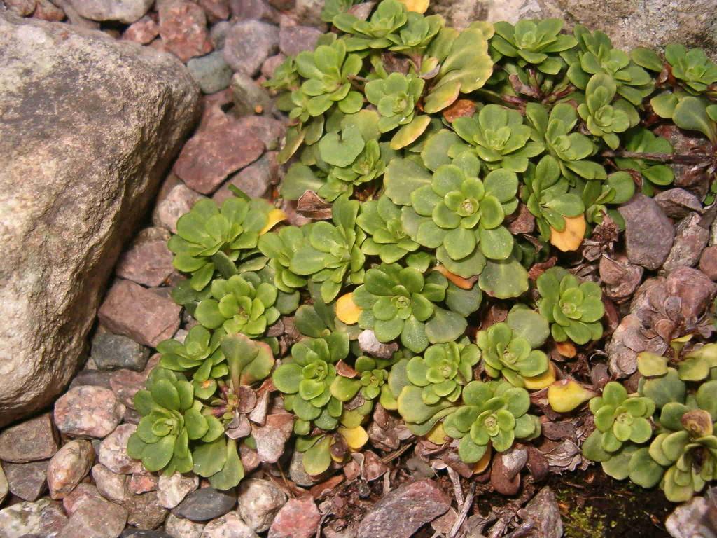 Saxifraga cuneifolia 570.1