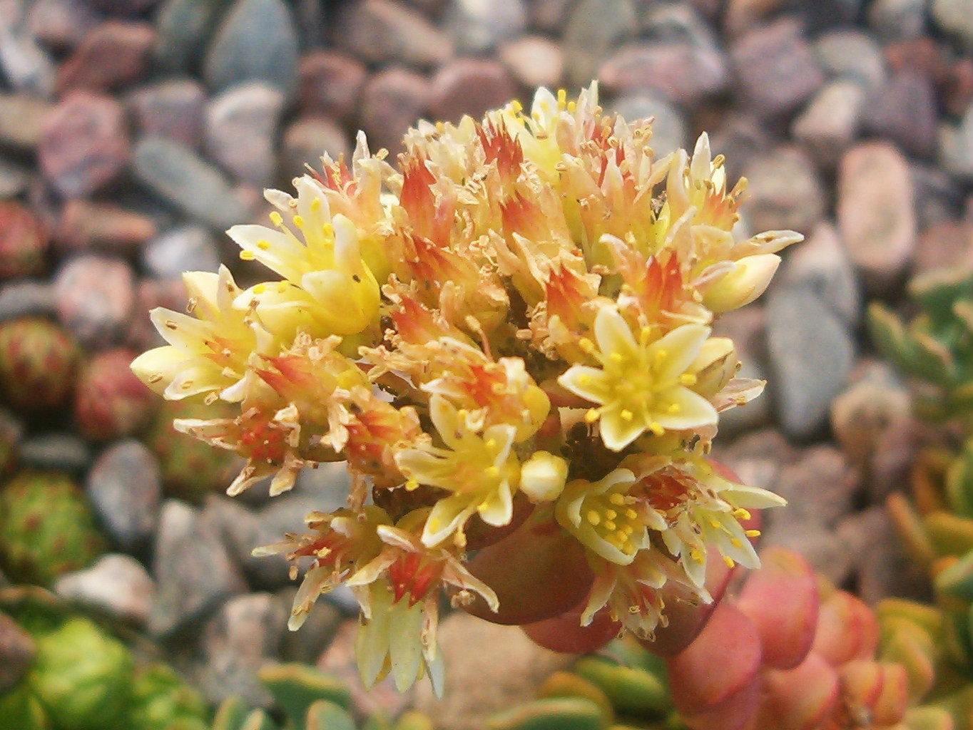 Sedum laxum (blommor) 570.1