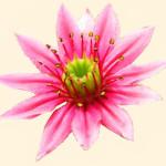 Sempervivum (blomma) 870.2