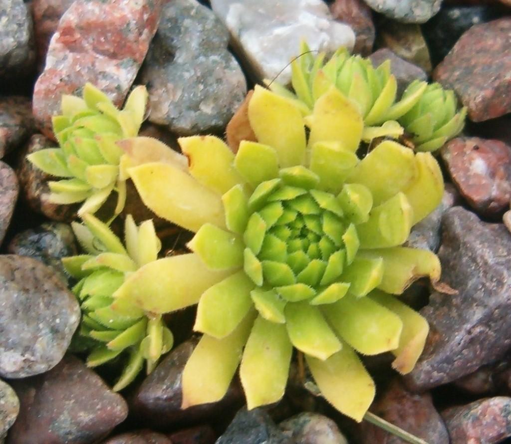 Sempervivum montanum v. carpathicum 'Cmiral's Yellow` 570.1
