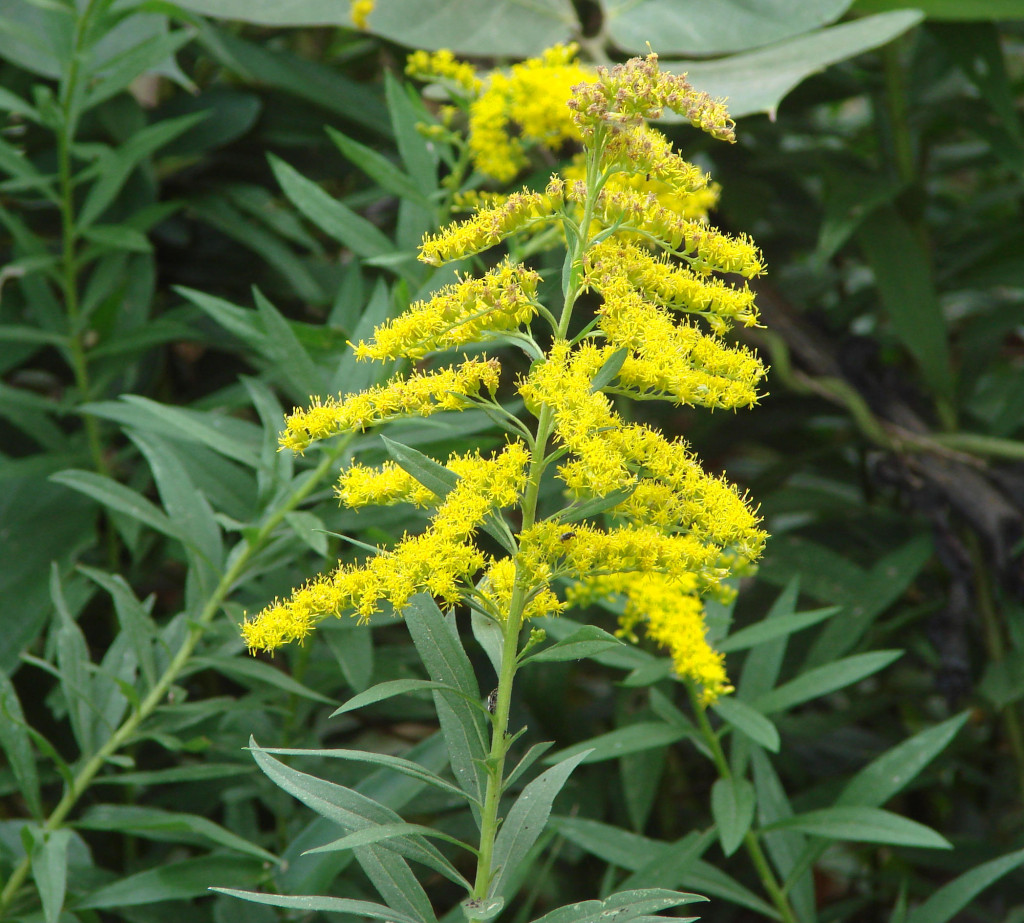 Solidago sp. 870