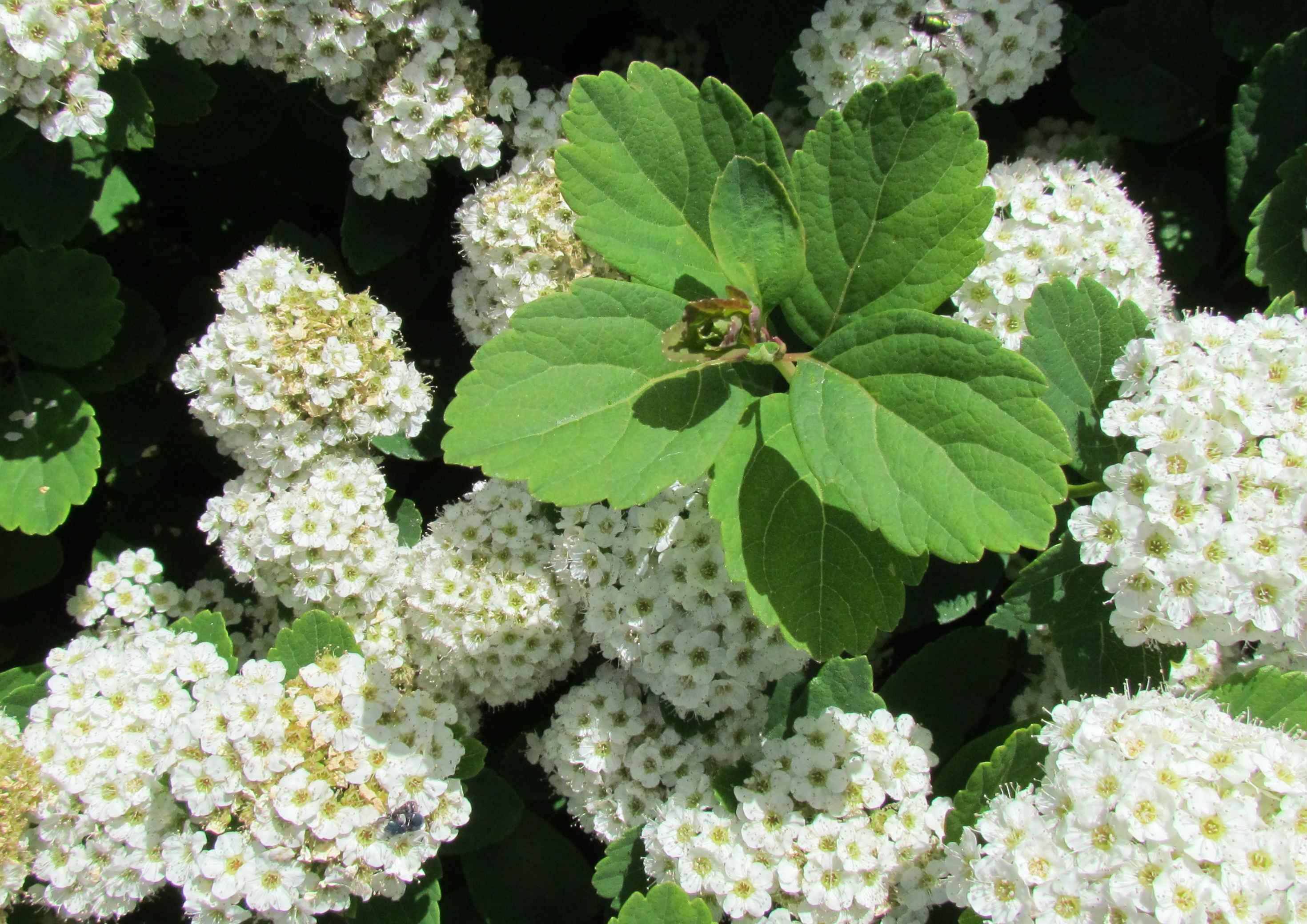 Spiraea betulifolia 570.2