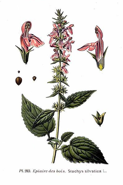 Stachys silvatica (teckn.) 870