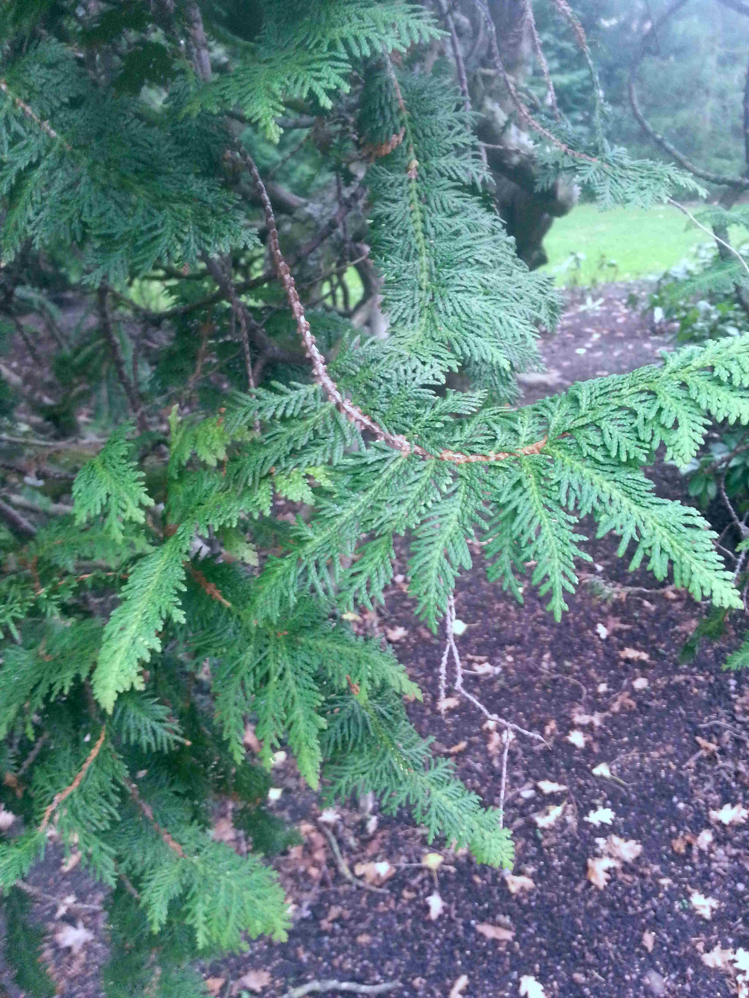 Thuja occidentalis 570.1