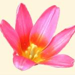 Tulipa 871.2