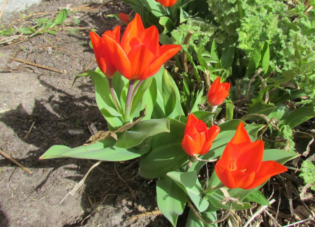Tulipa sp. 570.1 130424