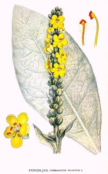 Verbascum thapsus (teckn.) 870