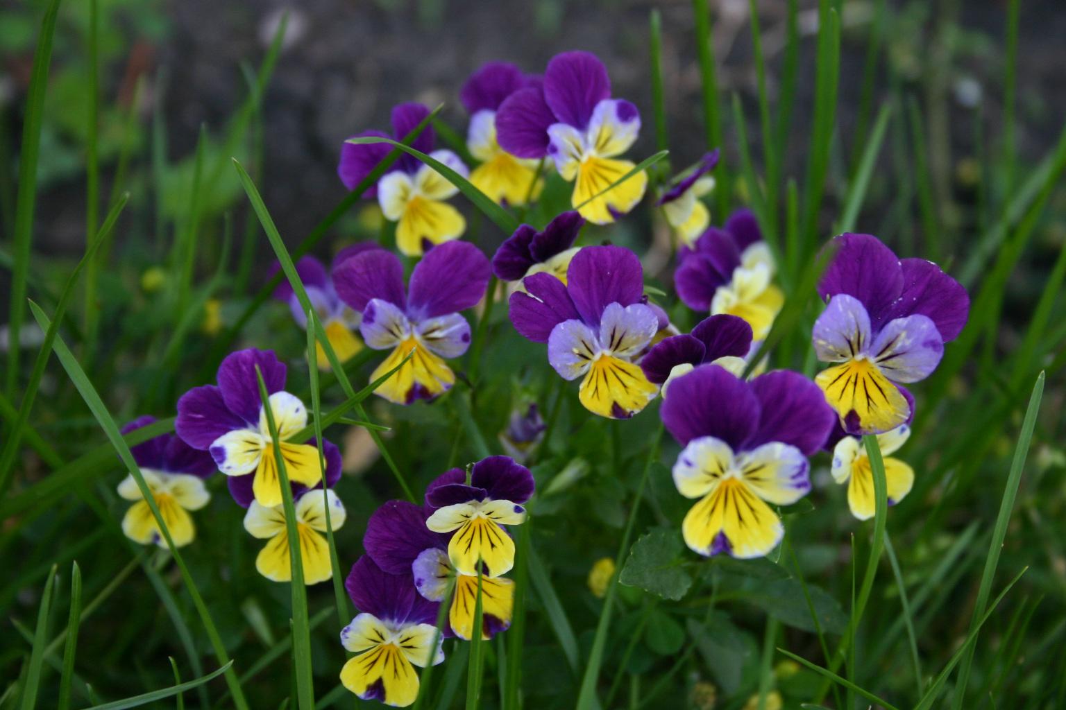Viola tricolor 870
