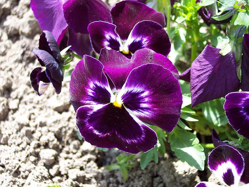 Viola x wittrockiana (Pensé) 870