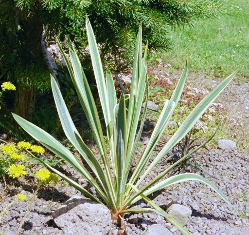 Yucca filamentosa ssp. smalliana `Bright Edge´